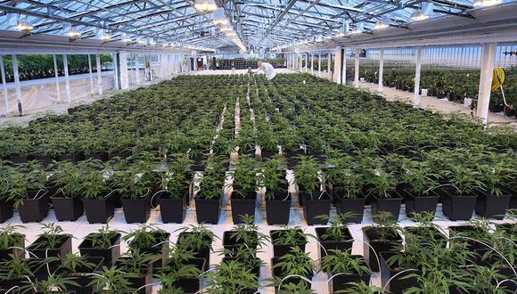 FOTO 8 | Antecedentes: John Cervini contribuyó a fundar Aphria, que tiene sede en Leamington, Ontario, tras abandonar el invernadero familiar que vendía tomates y pimientos. Él y su amigo Cole Cacciavillani empezaron a evaluar el cultivo de marihuana pese a que ninguno de los dos tenía experiencia en ello. Aphria se contó entre las primeras firmas productoras de marihuana que cotizaron en bolsa. (Foto: Postmedia News)