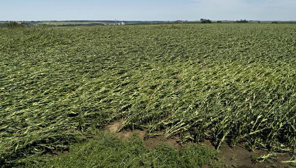 El maíz derribado a menudo sufre daños en el rendimiento y puede ser una pesadilla cosecharlo con maquinaria que no puede moverse normalmente por los campos.