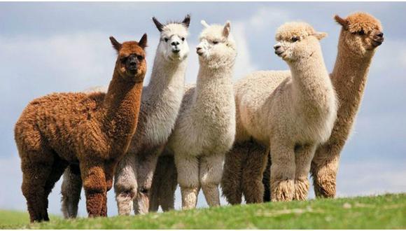 Perú es el hogar de las alpacas, un mamífero camélido domesticado que vive en los Andes a gran altitud con lana suave y liviana. (Foto: Difusión)