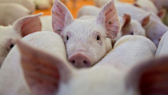 No es una idea nueva, pero la investigación se ha obstaculizado durante décadas por la preocupación de que los virus porcinos infecten a los humanos.