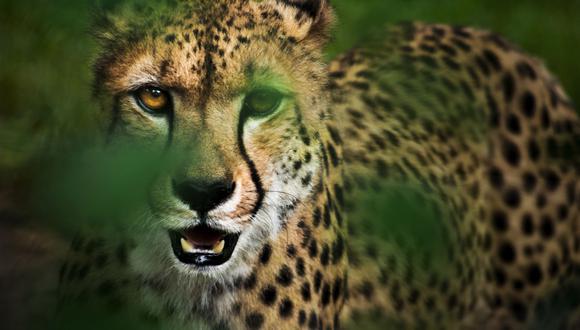 Durante el encuentro virtual, la responsable de la Dirección de Gestión Sostenible del Patrimonio de Fauna Silvestre del Serfor, Jessica Gálvez-Durand, señaló que anualmente en Perú se decomisan más de 5,000 especies de fauna silvestre. (Foto: iStock)