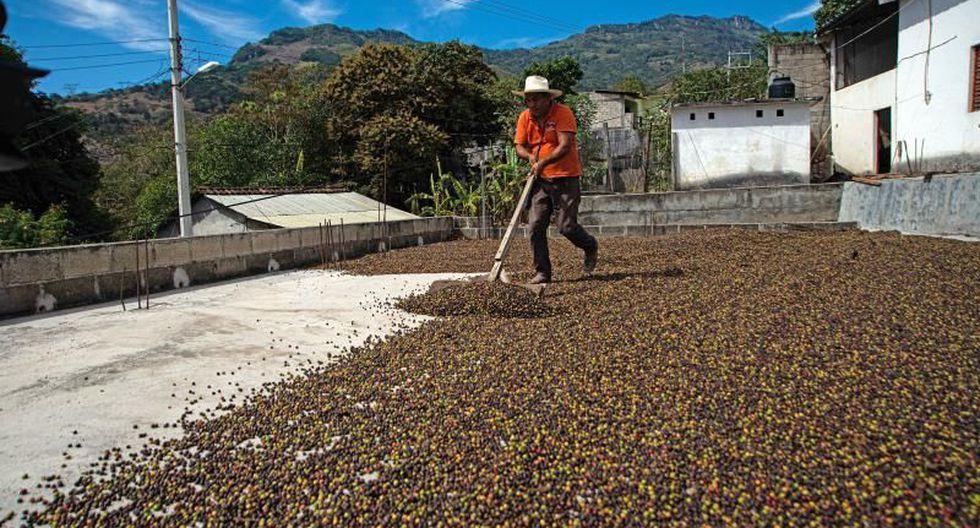 La pimienta gorda, especie originaria de México y Centroamérica, es utilizada desde hace mucho tiempo por distintas comunidades indígenas de Chiapas como moneda en llamados trueques. (Foto: EFE)