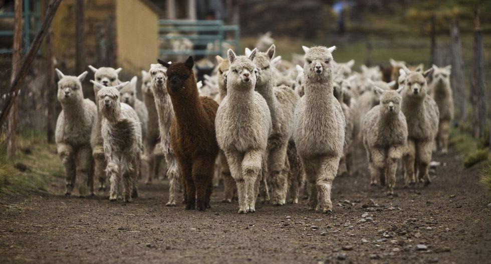 La proteína inyectada en alpacas fue diseñada junto al Laboratorio de Bioinformática y Biología Molecular de la Universidad Peruana Cayetano Heredia (UPCH).