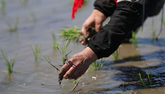 Un agricultor siembra plántulas de arroz en la aldea de Yinjia, en el Nuevo Distrito Shenbei de Shenyang, capital de la provincia nororiental china de Liaoning, el 26 de mayo de 2020. (Xinhua/Yang Qing)