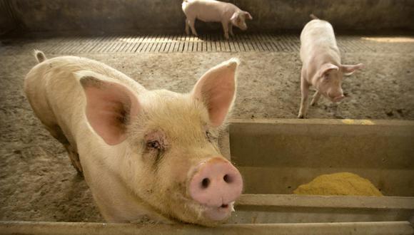 El impulso para mejorar la genética del ganado es parte del objetivo de China de depender menos de las importaciones para alimentar a su enorme población, cada vez más rica. (Foto: AP / Mark Schiefelbein)