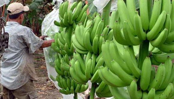 La variedad Cavendish abarca aproximadamente el 50% de la producción global de banano.
