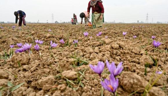 Esos aromáticos cultivos de Pampore, una localidad del sur de Srinagar -cuyos paisajes exhiben un esplendoroso color violeta durante las dos semanas de floración, a finales de otoño-, eran una mina de oro para miles de familias. (Foto: AFP)