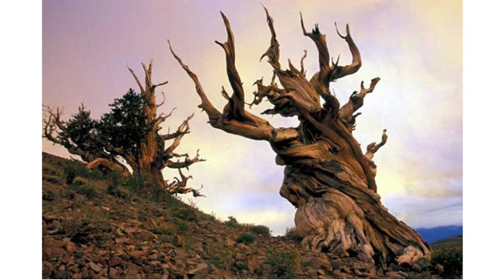 Matusalén. Con 4 850 años de edad, este árbol resguarda una misteriosa apariencia de las montañas orientales de California. Es una subespecie del pino Great Basin Bristlecone, la cual se ha considerado como la más antigua del planeta. De hecho, según Edmu