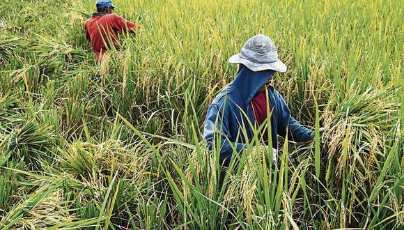 Arroz. Su siembra sería una de las más afectadas por las temperaturas mínimas previstas hasta mitad de este año, según el Senamhi. (Foto: iStock)