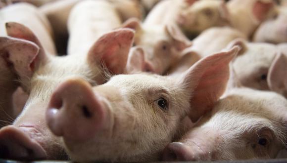 Imagen referencial de cerdos en una granja. La Organización Mundial de Sanidad Animal (OIE) indicó que, hasta el mes pasado, la Peste Porcina Africana en Asia causó pérdidas económicas que superan los US$ 130,000 millones, acumulados desde su introducción en 2018. (Foto: AFP).