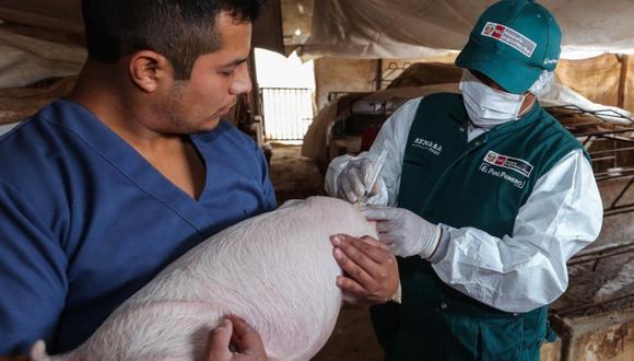 Perú busca declarar zonas libres de peste porcina clásica en Tacna, Moquegua, Arequipa y Loreto.