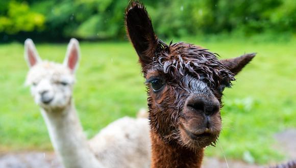 """El anticuerpo W25, identificado en la alpaca Budda en abril de 2020 por el Laboratorio de Biotecnología Médica de la UACH, ubicada en la ciudad de Valdivia (sur), """"es uno de los mejores neutralizantes que existe en el mundo para diversas variantes, muy estable a la nebulización y a condiciones extremas de temperatura"""", aseguró la institución. (Foto: AFP)"""