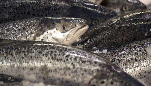 Si bien Noruega tiene reglas más estrictas que muchos productores sobre cómo trata el salmón, la piscicultura a nivel mundial es objeto de distintas polémicas, desde el uso de antibióticos hasta la sostenibilidad de la alimentación de peces. (Bloomberg)