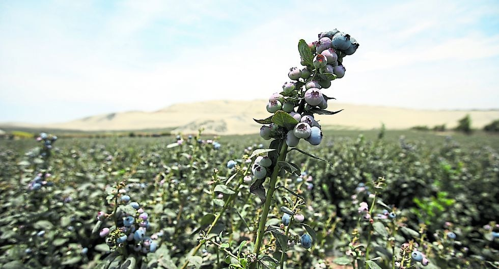 Cultivos de arándanos se incrementaron sobre todo en La Libertad y Lambayeque. (Foto: GEC)