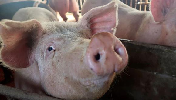 """""""Eso nos ayudará a lidiar con la acumulación de cerdos que tenemos actualmente en las granjas para darles a los procesadores de carne la capacidad de sacrificar más animales"""". (Foto: REUTERS/Dominique Patton)"""