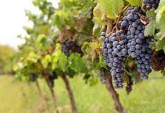 Exportaciones de uvas suben 23% a US$ 439 millones en los primeros siete meses del año