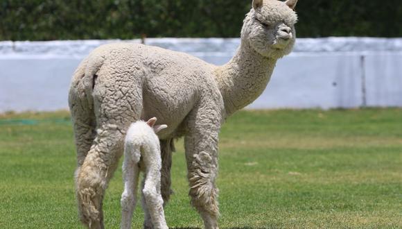 Las exportaciones de pelo fino de alpaca tuvieron como principales mercados de destino a China, Italia, Reino Unido, Taiwán y Japón. (Foto: GEC)