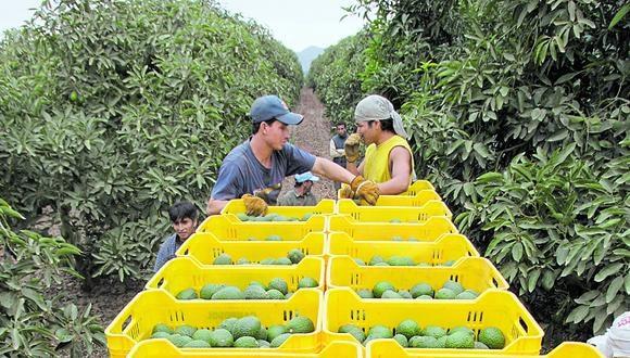El Perú avanza en su posicionamiento comercial como proveedor de palta en Corea. (Foto: GEC)