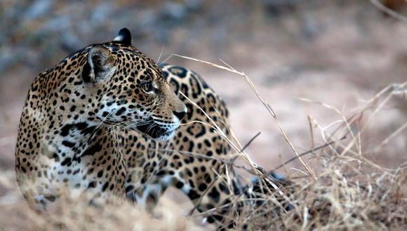 El jaguar, uno de los animales más emblemáticos de Latinoamérica, se encuentra en peligro sobre todo por la deforestación. (Foto: Sernap).