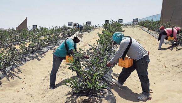 Reto. Buscan mantener y atraer personal para cultivo de arándano. (Foto: GEC)