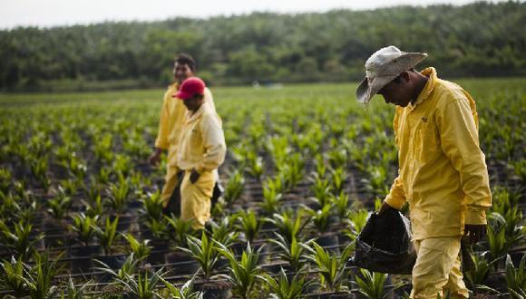 Producción de palma aceitera en Perú va en aumento (Foto: Junpalma).