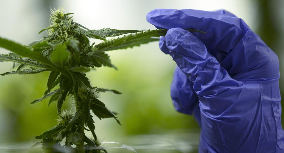 Cannabis. (Foto: Bloomberg).