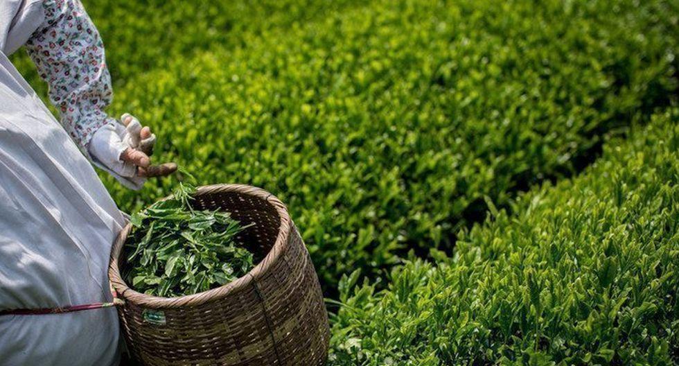 FOTO 7 | Té verde. Es un antioxidante en toda regla que es bueno para prevenir enfermedades cerebrales y relacionadas con el corazón.