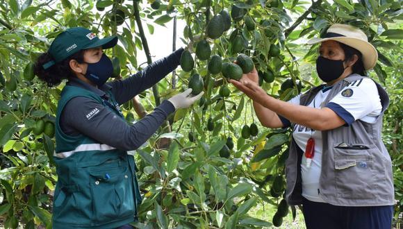 ¿Los exportadores de palta de Ayacucho tendría que seguir un proceso fitosanitario distinto para la exportación, y otros los que envían la palta desde La Libertad? (Foto: Senasa)