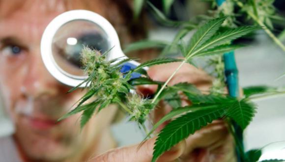 Cannabis. (Foto: Difusión)