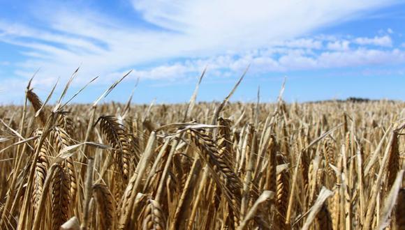 """""""Está claro que este año todas las exportaciones de cebada de Argentina van a ir a China"""", dijo Agustín Baque, un operador internacional de cebada en el país sudamericano. (Foto: REUTERS/Jonathan Barrett)"""