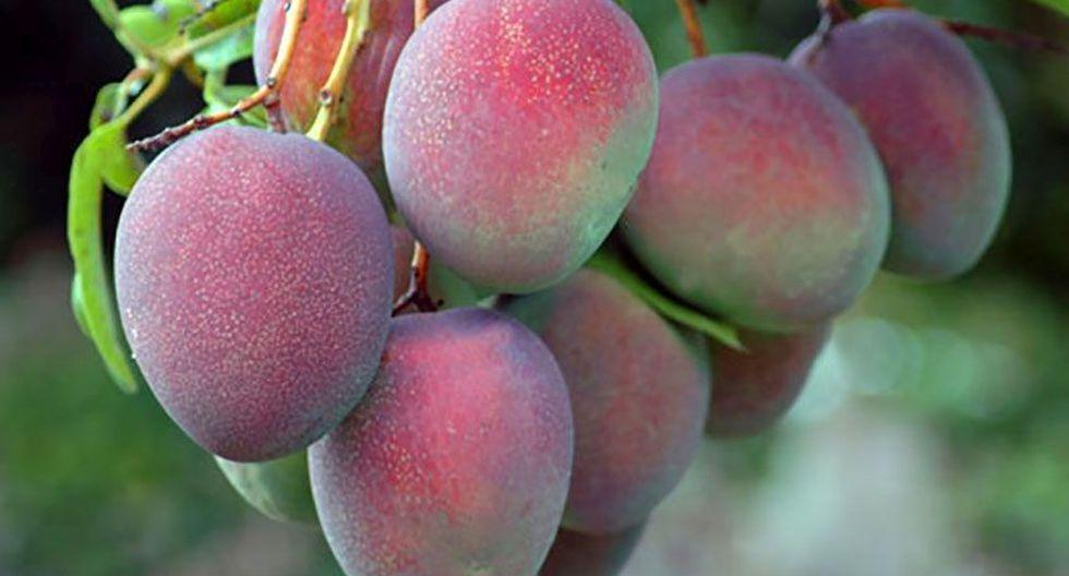 INIA mejoró la calidad y productividad del mango de exportación de Piura, a través de acciones de transferencia tecnológica a pequeños y medianos productores del Centro Poblado del Valle de los Incas, en Tambogrande. (Foto: Difusión)