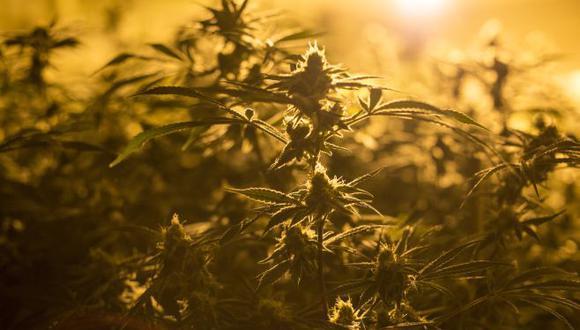 La realidad de la industria del cannabis está lejos de las proyecciones del Gobierno, de que la cuarta economía de América Latina tiene potencial para exportar unos US$ 6,000 millones anuales en derivados del cannabis para uso medicinal y el cultivo de unas 1,000 hectáreas, aunque sin precisar en cuánto tiempo.