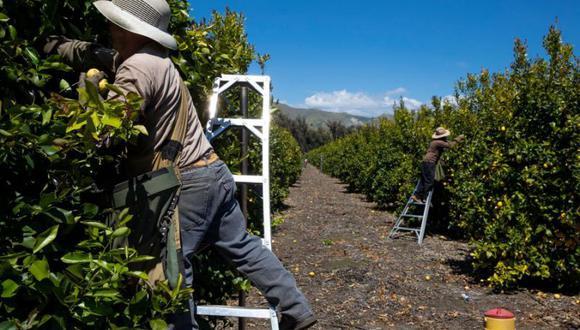"""Un agricultor californiano le dijo a la Radio Pública Nacional que si el coronavirus penetra la comunidad agrícola, """"se propagará como el fuego"""". (Foto: Bloomberg)"""