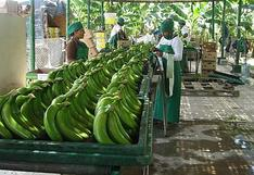 En riesgo 9,000 hectáreas de banano orgánico en Piura por aparición de hongo