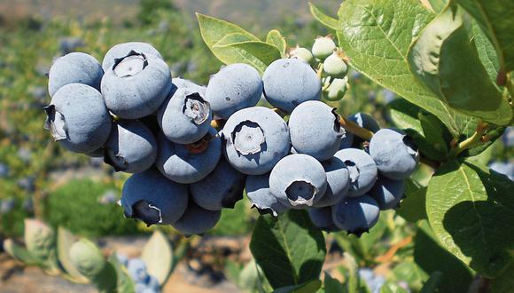 Avance. Variedades de la fruta más que se triplicaron en últimos 5 años.( Foto: Difusión)