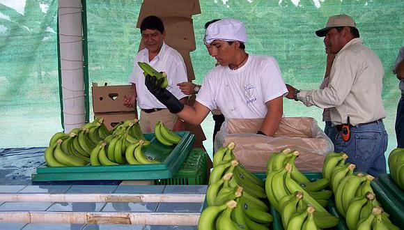 Holanda se convirtió en el principal comprador del banano peruano orgánico. (Foto: USI)