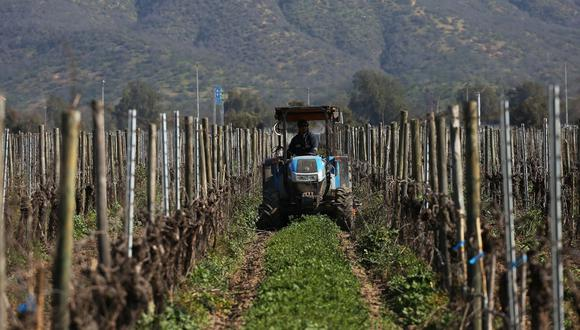 Un hombre recorre en un tractor los viñedos ayudando en el control de maleza en la agricultura orgánica de la viña Emiliana, ubicada en la comuna de Casablanca, ciudad de Valparaíso (Chile). (Foto: Efeagro/Elvis González)