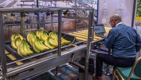El curso Bioseguridad ante la R4T es gratuito y está dirigido a productores, sin importar su tamaño ni grado de tecnificación, canales de distribución, distritos de riego, asesores técnicos y, en general, a cualquier persona relacionada con el cultivo de banano. (Foto: Efeagro/Giorgio Viera)