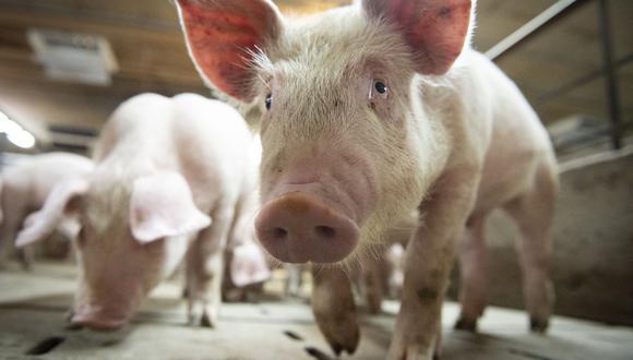 En China, el mayor productor de carne de cerdo del mundo, la enfermedad causó que cientos de millones de animales fueran sacrificados y elevó las importaciones de proteínas de otras fuentes. (Foto: Sebastien St-Jean / AFP).