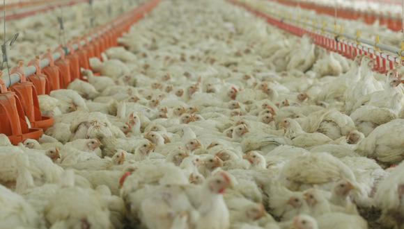 La producción avícola incluye la producción de carne de pollo, pavo, gallo, gallina y pato.