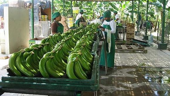 En Piura hay 10,500 productores de banano orgánico que exportan a Estados Unidos y Europa.