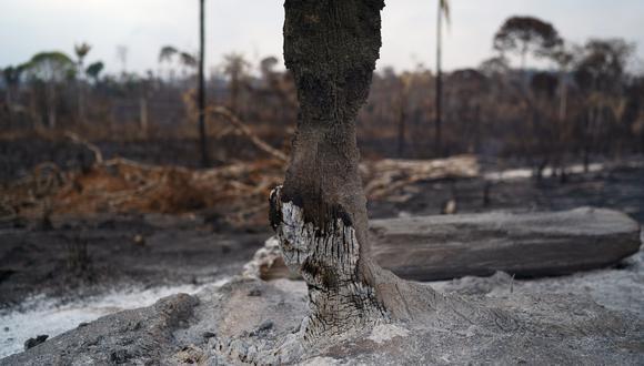 Un árbol arrasado por un incendio en la amazonía brasileña. (Foto: AP)