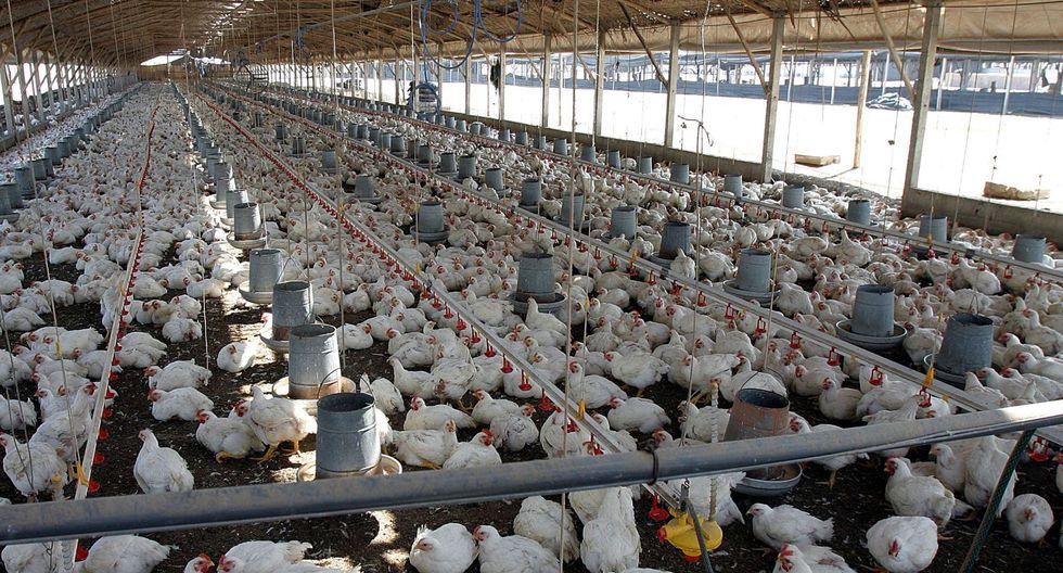 FOTO 2 | 2.  La Asociación Peruana de Avicultura (APA) informó que las principales empresas avícolas del país planean comenzar a exportar pollo a Estados Unidos y Asia. Detallaron que el para ello han puesto en marcha un proyecto piloto de equivalencia sanitaria para llegar al mercado estadounidense en los próximos 3 años. (Foto: Andina)