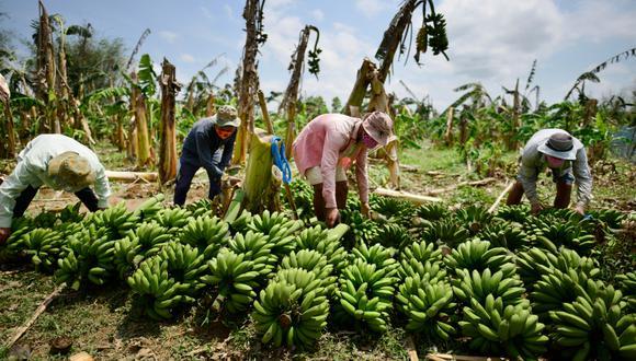 Perú tiene unas 10,500 hectáreas de banano orgánico cultivadas con fines de exportación. (Foto: EFE)